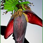 Saging, Banana
