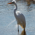 The Great White Egret (Breeding Plumage)