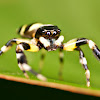 Thiania Jumping Spider
