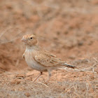 Black-crowned sparrow-lark(female)