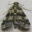 Waterlily Leafcutter Moth