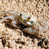 Pallid Ghost Crab