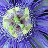 Purple Passionflower, Maypop