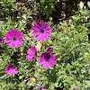 Purple Osteospermum flower (Οστεόσπερμο)