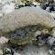 White-Speckled Sea Hare