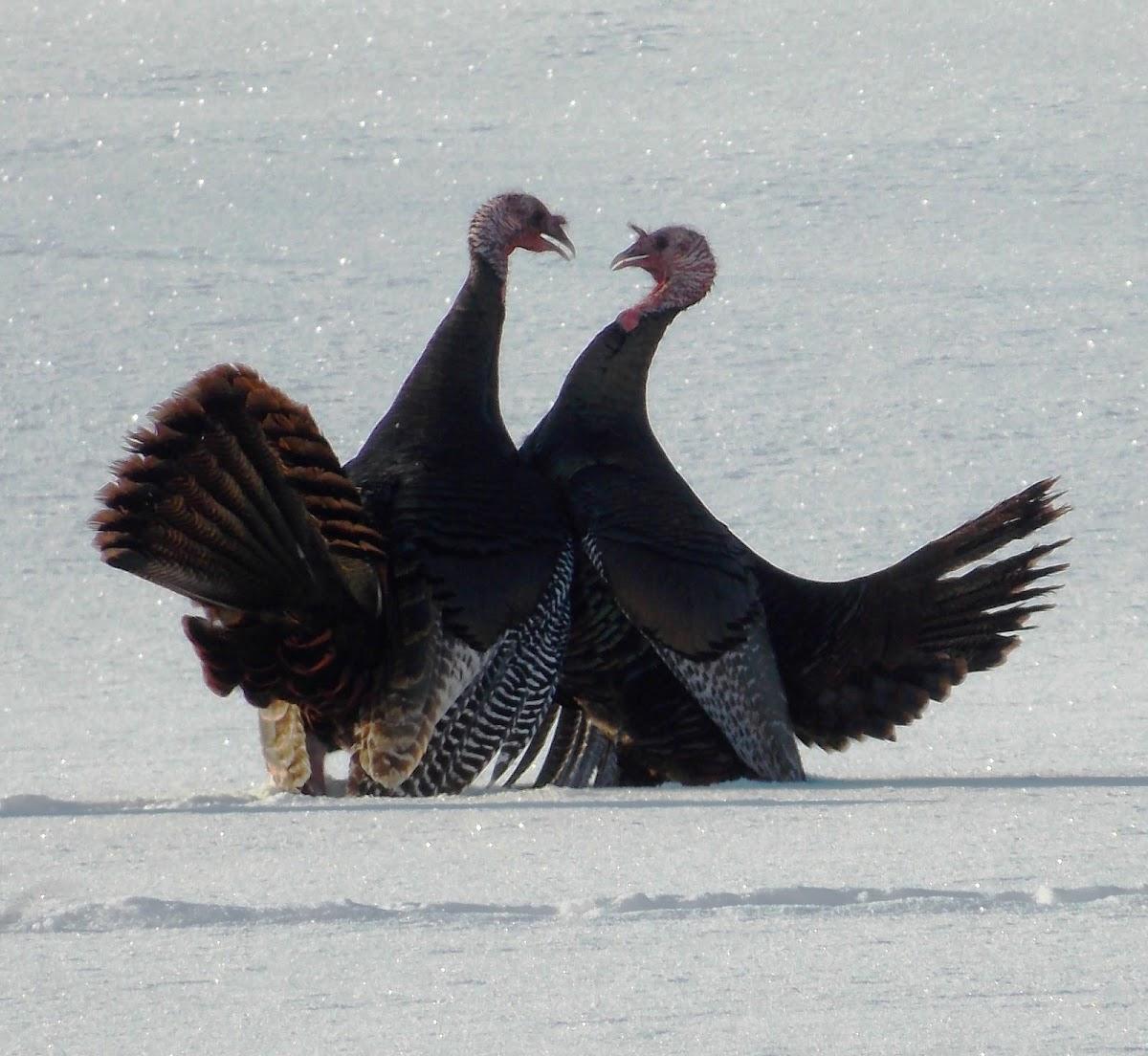 Wild Turkey (mating ritual)