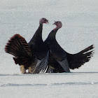 Wild Turkey (mating ritual)