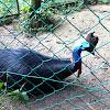 Southern Cassowary