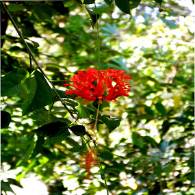 Red Flower.... by Abhishek Mestry - Flowers Flowers in the Wild ( #trees, #green, #macro, #red, #flower )