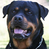 Rottweilers Wallpapers