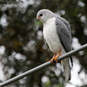 Grey Goshawk