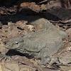 Common Monitor Lizard