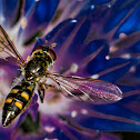 Chequered Hoverfly