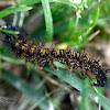 White-rayed Patch/Checkerspot (Mariposa parche negra)