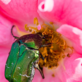 Scarabaeidae by Evita Ewii - Animals Insects & Spiders ( rose, macro, nature, green, beetle )