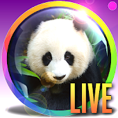 PANDA Webcam - Live Zoo Pandas