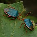 Amazonian Stink Bug