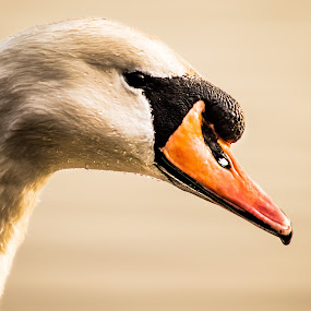 Swan by Nicole Williams - Novices Only Wildlife ( swan, cob, portrait, mute )