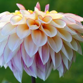 Flower by J & M - Flowers Single Flower ( green, illustration, image, pink, view, garden, flower )