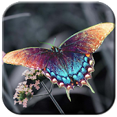 HD Dream Butterfly