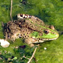 Common green frog