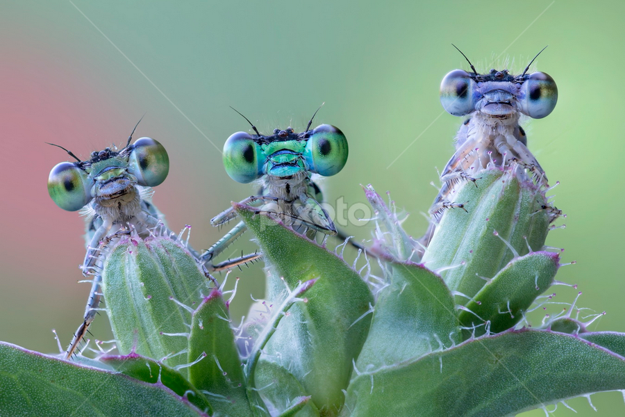 6 funny eyes by Alberto Ghizzi Panizza - Animals Insects & Spiders ( macro, big eyes, damselfly, funny, three, little, insect,  )