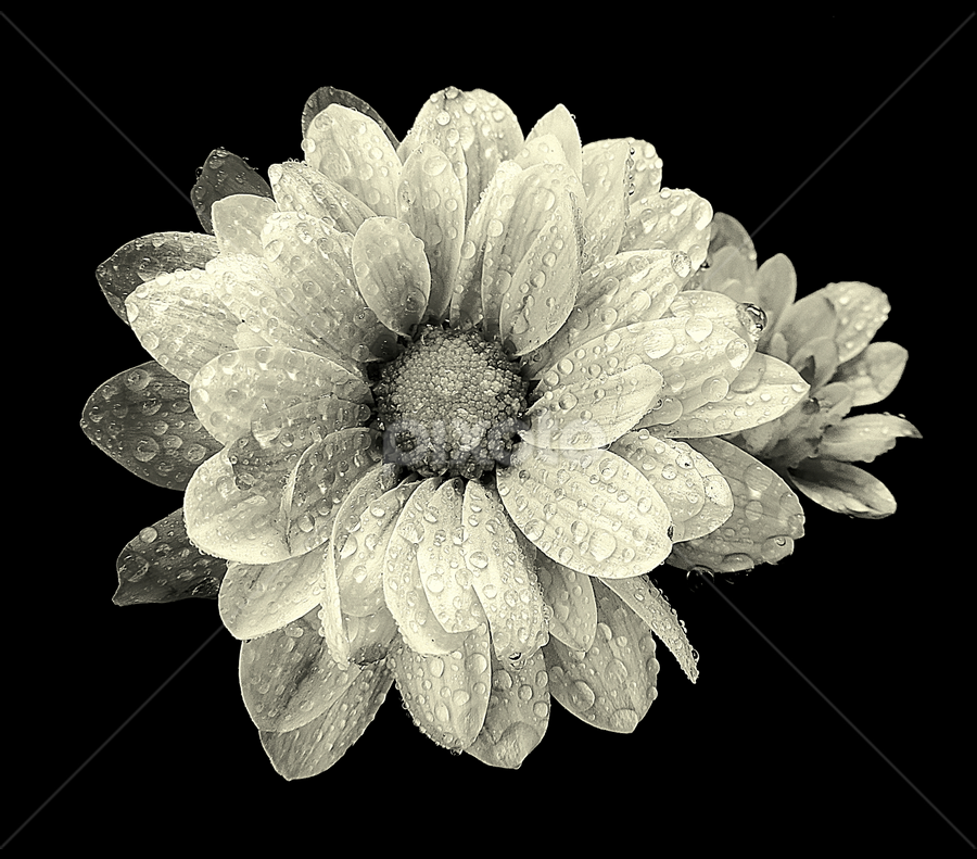 by Biljana Nikolic - Black & White Flowers & Plants (  )