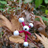 Doll's Eyes/White Baneberry