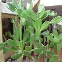 Prickly Pear Catus