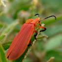 Lycus loripes