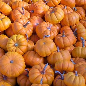Pumpkins by Vikram Mehta - Public Holidays Halloween ( orange, haloween, fruit, pumpkins, festival, yellow, vegetable,  )