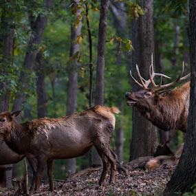 Call of the Wild by Andrea Silies - Animals Other Mammals ( nature, elk, antlers, rut, bull elk, woods, animal )