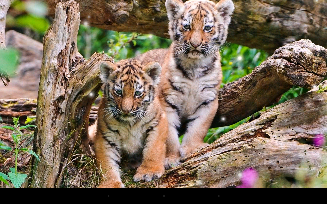 little tiger live wallpaper android apps on google play