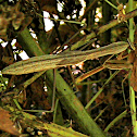Praying Mantis - Chinese Mantid