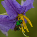 Augochlora Sweat bee