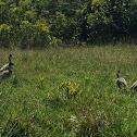 Nene/Hawaiian Goose