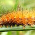 Virginia Tiger Moth Caterpillar
