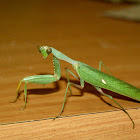 Giant Mantid / Common Green Mantid