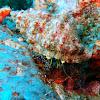Dark knee hermit crab