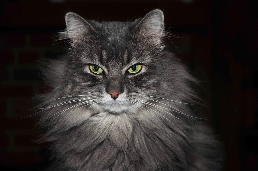Simba front by Katelin Welles - Animals - Cats Portraits (  )