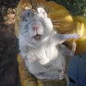 Southern plains wood rat