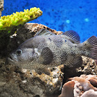 Spotted Soapfish