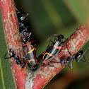 Red-banded gum leaf hoppers