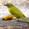 Catirumbava (Olive-green Tanager)