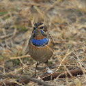 Bluethroat (male)