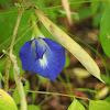 Butterfly pea / Blue pea vine
