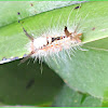 Tussock Moth (Caterpillar)