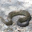 Víbora de cascabel cola negra, Black-tailed rattlesnake