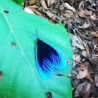 Day-flying Pompelon moth