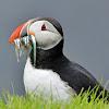 Atlantic puffin -  Lundi